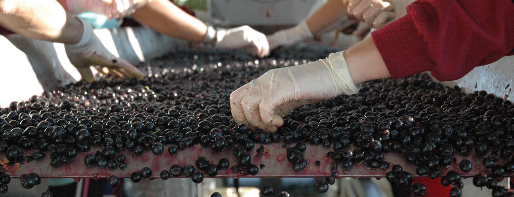 Sorting grapes at Callejo