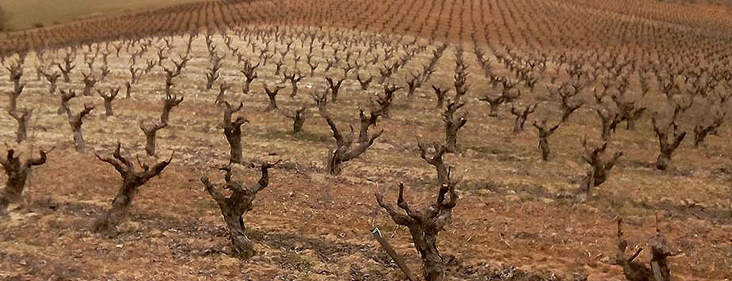 Old bush vines at Callejo